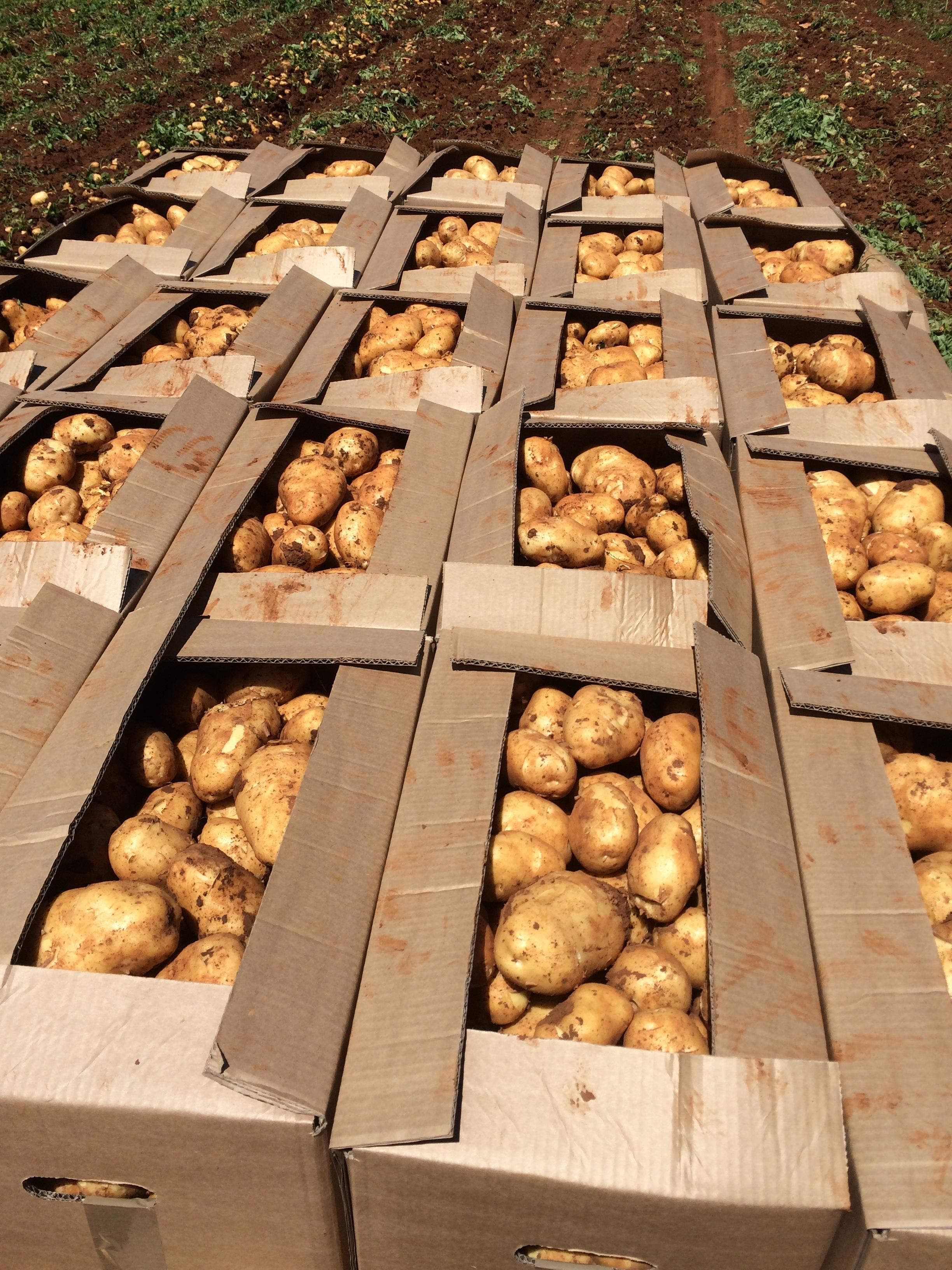 Krumpir-pula-02