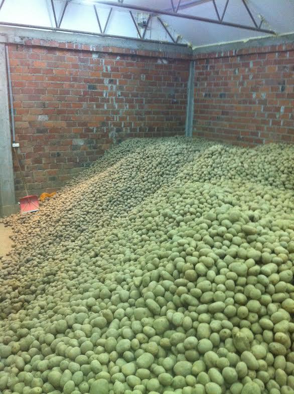 Krumpir u skladiYtu